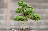 bonsai-trees
