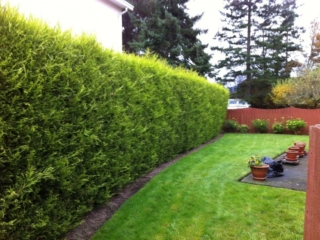 Hedge Trimming Before