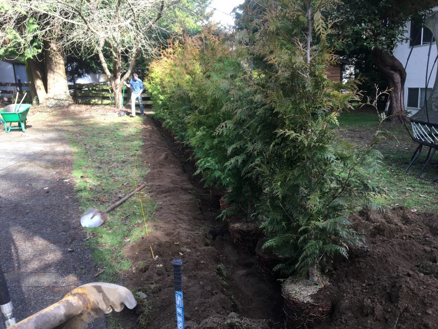 installing new privacy hedges in Saanich, BC.