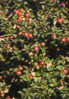 Apple tree Colonial Landscaping