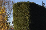 Clipped Colonial Style Hedge