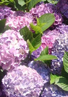 Hydrangea Colonial Landscaping