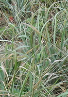 Native Dune grass