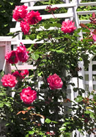 Rose Bushes Colonial Landscaping Design