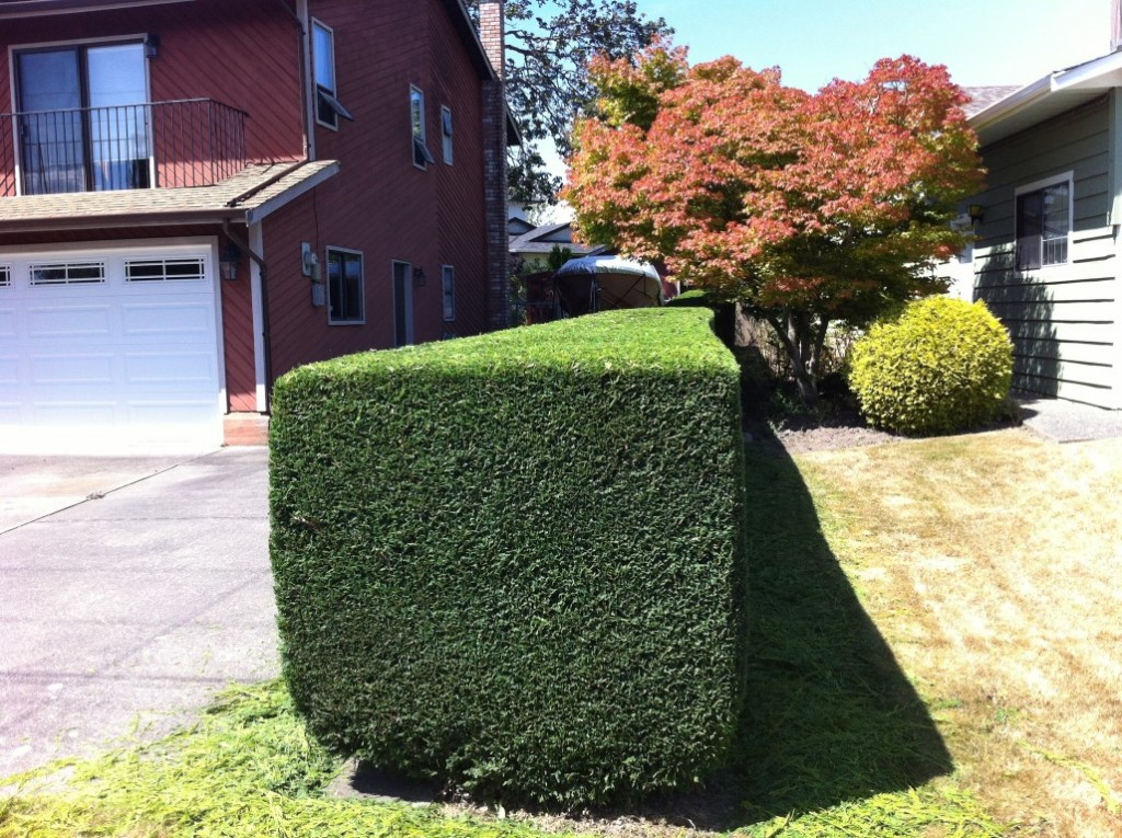 Hedge Trimming After